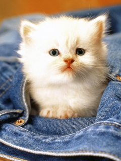 Kitten In Jeans screenshot #1 240x320