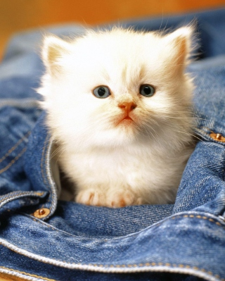 Kitten In Jeans Wallpaper for HTC Titan