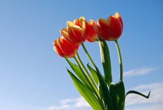 Tulips Bloom Background for Android, iPhone and iPad