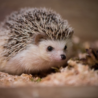 Hedgehog sfondi gratuiti per iPad Air