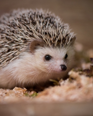 Hedgehog Wallpaper for Nokia Asha 305