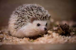 Free Hedgehog Picture for Samsung Ch@t 335