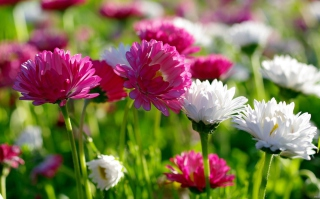 Field Flowers Picture for Android, iPhone and iPad