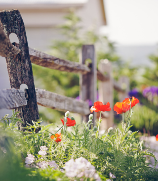 Free Poppy Flowers And Old Fence Picture for 240x320