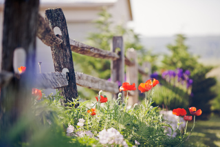 Poppy Flowers And Old Fence - Fondos de pantalla gratis