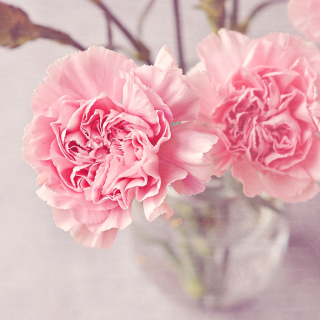 Pink Carnations Background for iPad 3