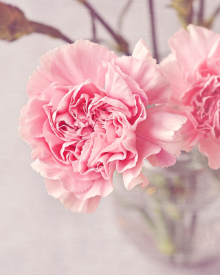 Free Pink Carnations Picture for Nokia C1-00