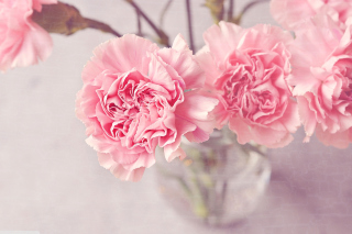 Pink Carnations Background for Android, iPhone and iPad