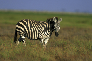 Zebra In The Field Wallpaper for Android, iPhone and iPad