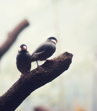 Two Birds On Branch Background for Nokia Asha 305