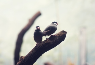 Two Birds On Branch Picture for Android, iPhone and iPad