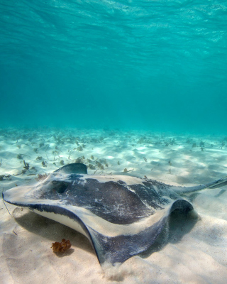 Stingray Wallpaper for HTC Titan