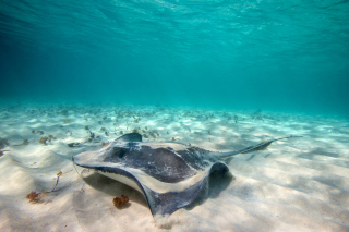 Free Stingray Picture for Android, iPhone and iPad