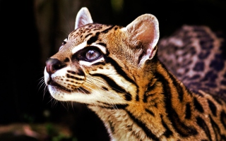 Wild Cat Wallpaper for Android, iPhone and iPad