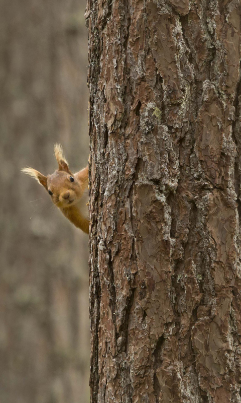 Screenshot №1 pro téma Squirrel Hiding Behind Tree 480x800