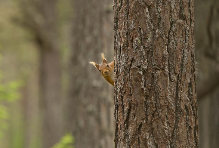 Screenshot №1 pro téma Squirrel Hiding Behind Tree