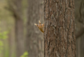 Squirrel Hiding Behind Tree Wallpaper for Android, iPhone and iPad