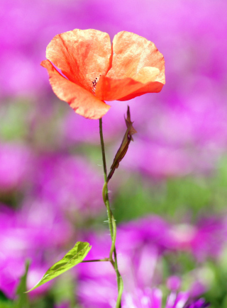 Red Poppy On Purple Background - Fondos de pantalla gratis para 320x480