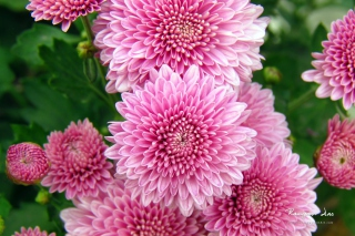 Chrysanthemum Flowers Background for Android, iPhone and iPad