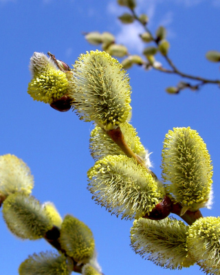 Spring Bud Wallpaper for Nokia C1-01