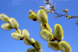 Spring Bud sfondi gratuiti per cellulari Android, iPhone, iPad e desktop
