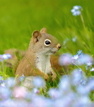 Funny Squirrel In Field Wallpaper for Nokia C1-00