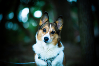 Welsh Corgi Background for Android, iPhone and iPad
