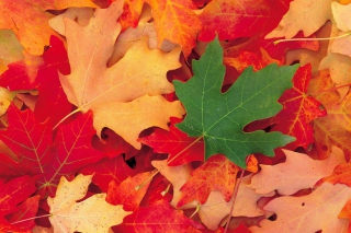 Autumn Leaves sfondi gratuiti per cellulari Android, iPhone, iPad e desktop