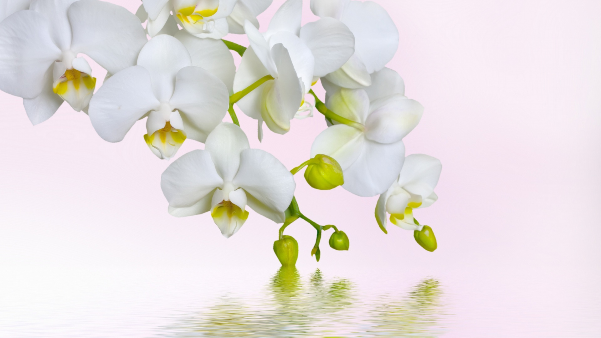 Screenshot №1 pro téma White Orchids 1920x1080