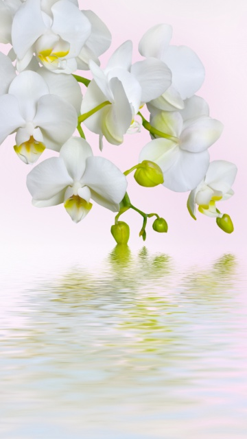 Screenshot №1 pro téma White Orchids 360x640
