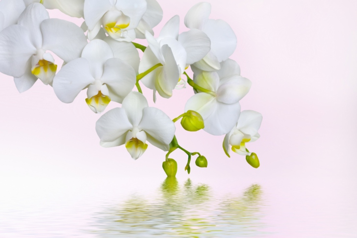Das White Orchids Wallpaper