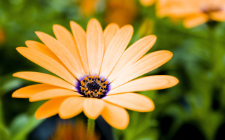 Orange Flower Wallpaper for Nokia Asha 205