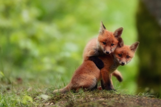 Two Little Foxes Picture for Android, iPhone and iPad