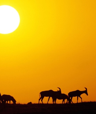 Antelopes Picture for 240x400