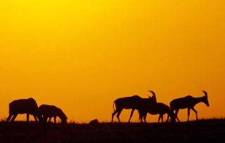 Antelopes Background for 800x600