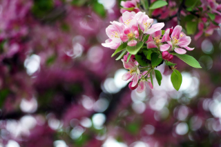 Pink May Blossom Background for Android, iPhone and iPad
