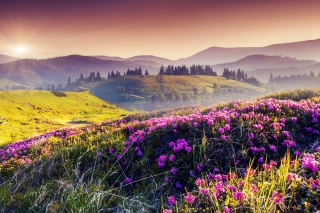 Free Pink Flowers Field Picture for Android, iPhone and iPad