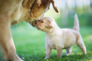 Golden Retriever Puppy Love Background for Android, iPhone and iPad