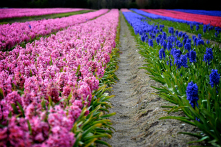 Hyacinths Field Background for Nokia X2-01