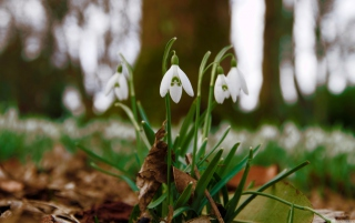 Snowdrops In Queens Park Scotland Background for Android, iPhone and iPad