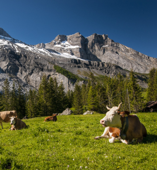 Switzerland Mountains And Cows sfondi gratuiti per 1024x1024