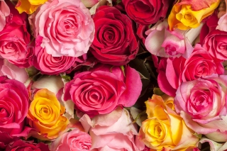 Colorful Roses 5k Wallpaper for Android 2560x1600