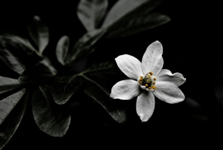 White Flower On Black - Fondos de pantalla gratis