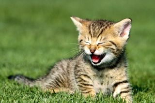 Yawning Kitten Background for Android, iPhone and iPad