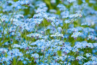 Forget Me Nots Wallpaper for Android, iPhone and iPad