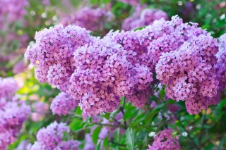 Free Lilac Time Picture for 960x854