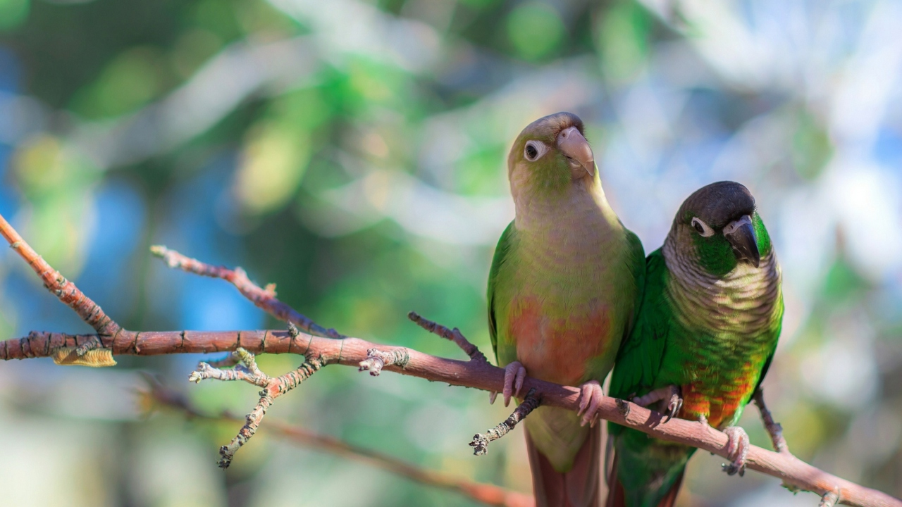 Two Beautiful Green Parrots