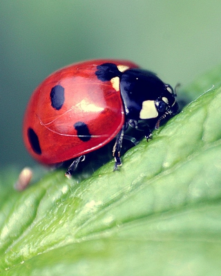 Beautiful Ladybug Macro Wallpaper for iPhone 5