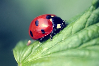 Beautiful Ladybug Macro Background for Android, iPhone and iPad
