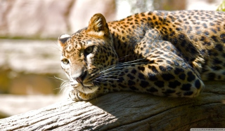 Free Leopard Resting Picture for Android, iPhone and iPad
